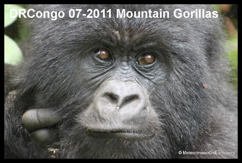 DRCongo07-2011MountainGorillas